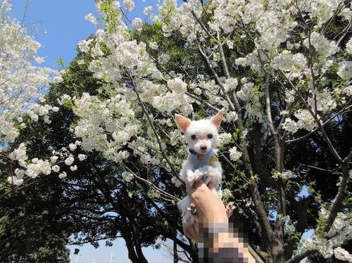 桜・山下公園.JPG