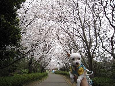 2013桜 010.JPG
