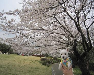2013桜 011.JPG