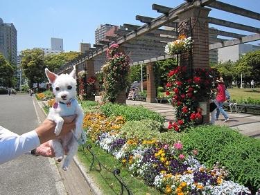 山下公園バラ (1).JPG