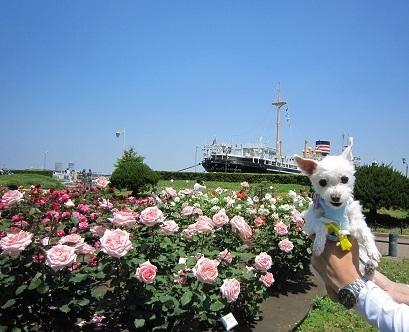 山下公園バラ (4).JPG