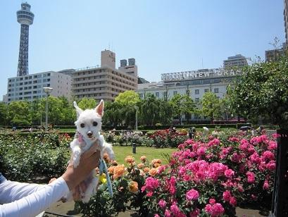 山下公園バラ (7).JPG