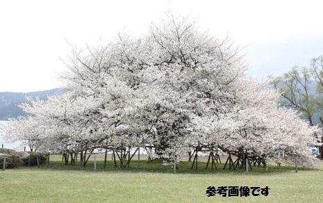 芦ノ湖桜.jpg